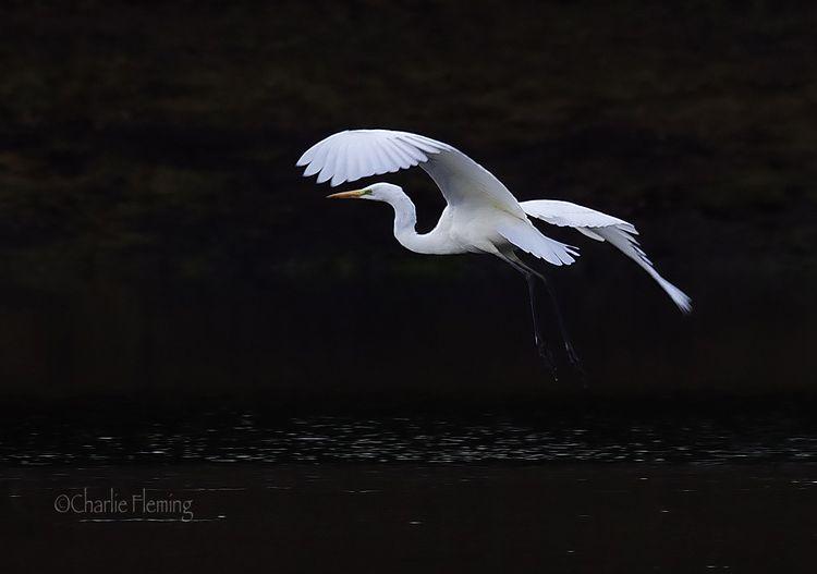 Great White Egret Devon_edited-2