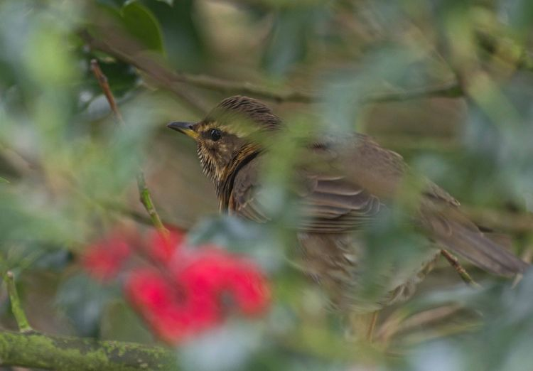 Redwing in the garden