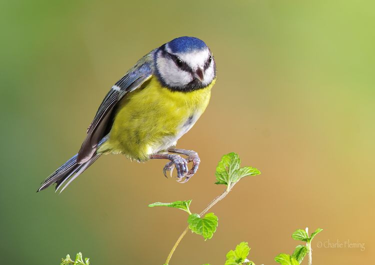 Blue Tit again