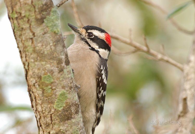 Hairy Woodpecker a