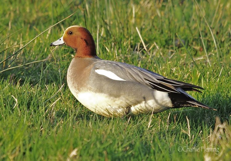 Standing Widgeon
