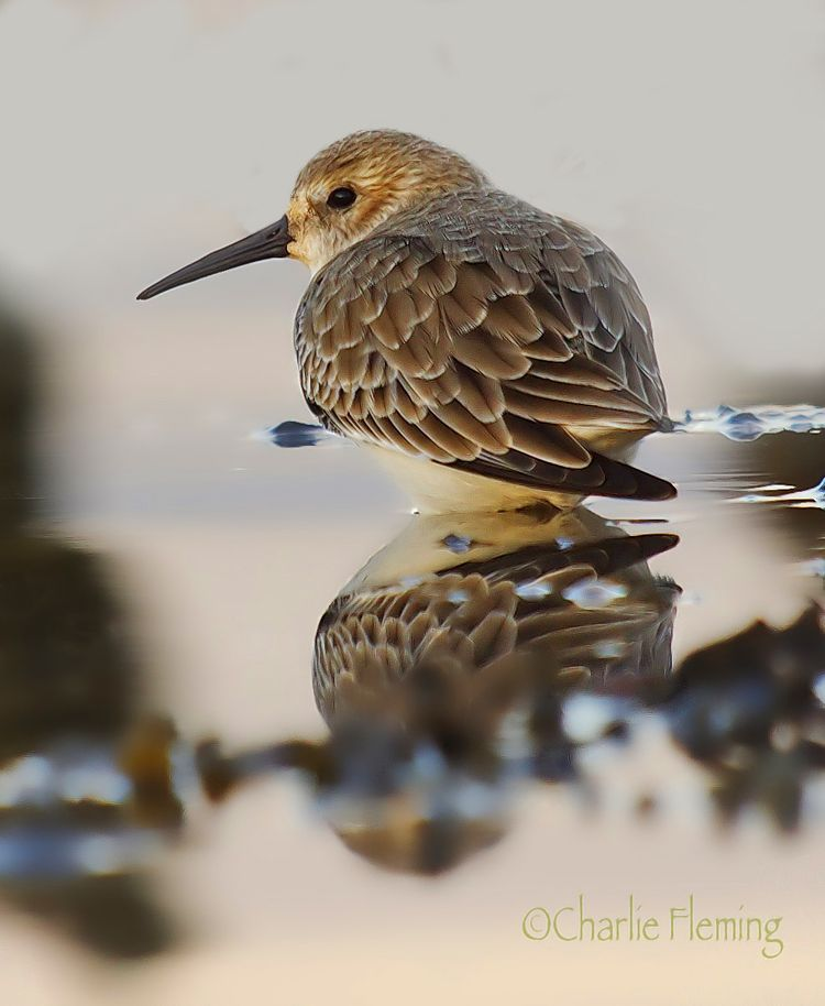 Dunlin on the Exe