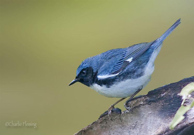 Warbler Blue