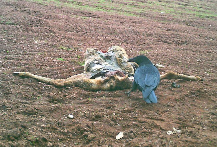 Crow at Deer Carcass