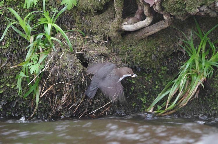 Male Dipper
