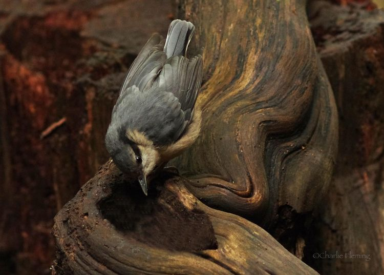 Baby Nuthatch_edited-1