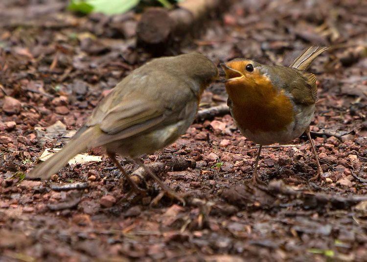 Robin pair