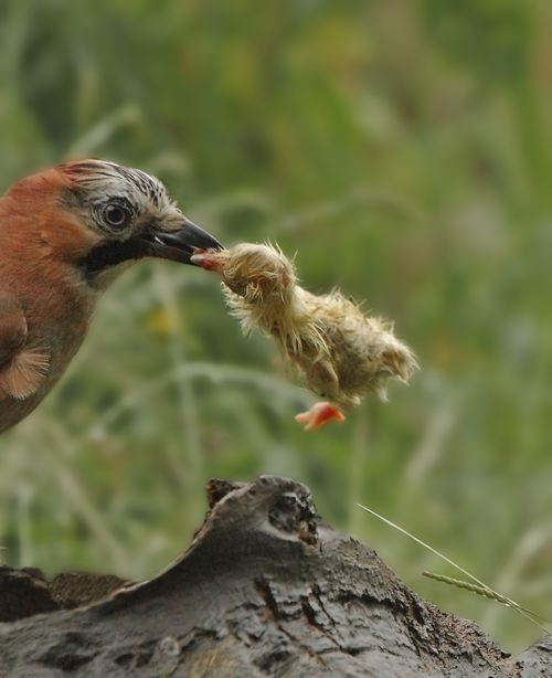 Jay with chick 2