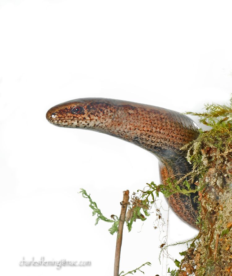 Slow worm_edited-1