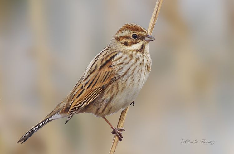 Reed Bunting_edited-1