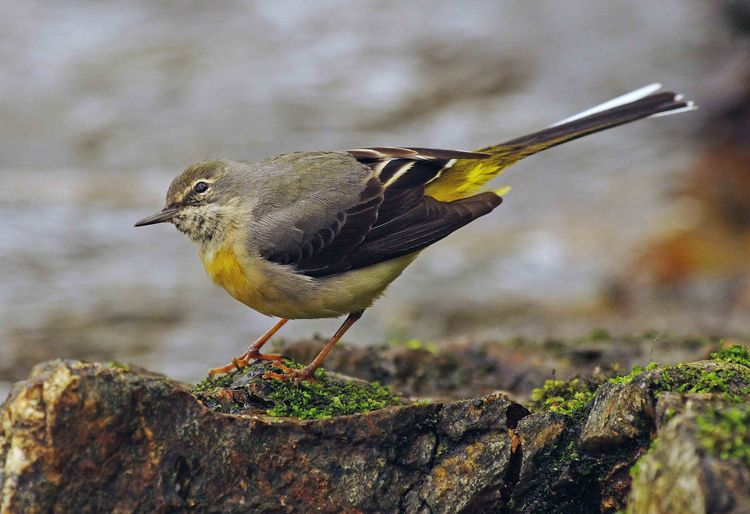 Female wagtail 3 copy
