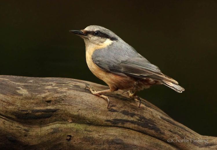 Young Nuthatch