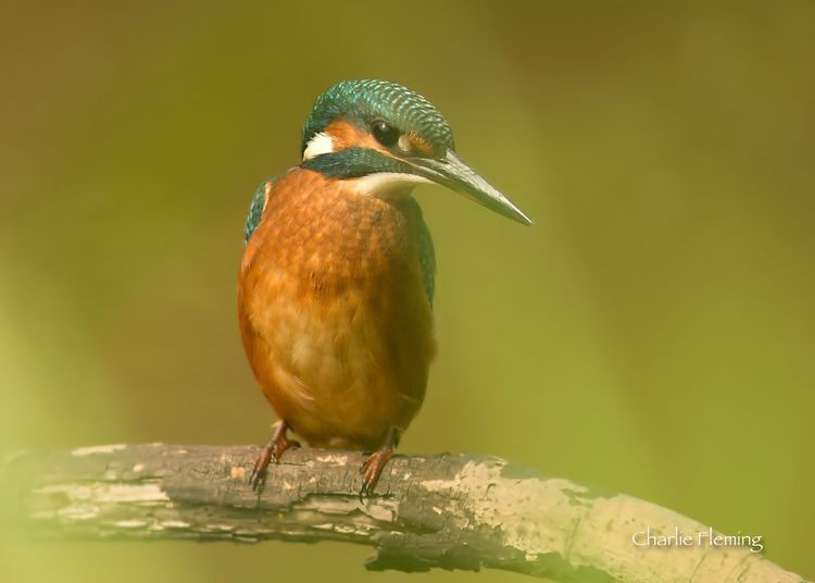 Kingfisher_edited-1