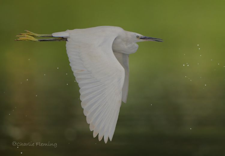 Little Egret_edited-1