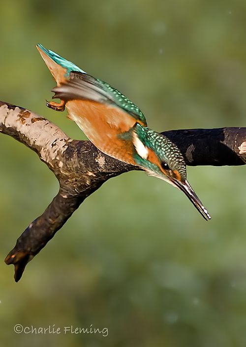 Kingfisher dives