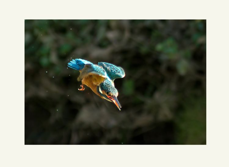 Kingfisher atacks