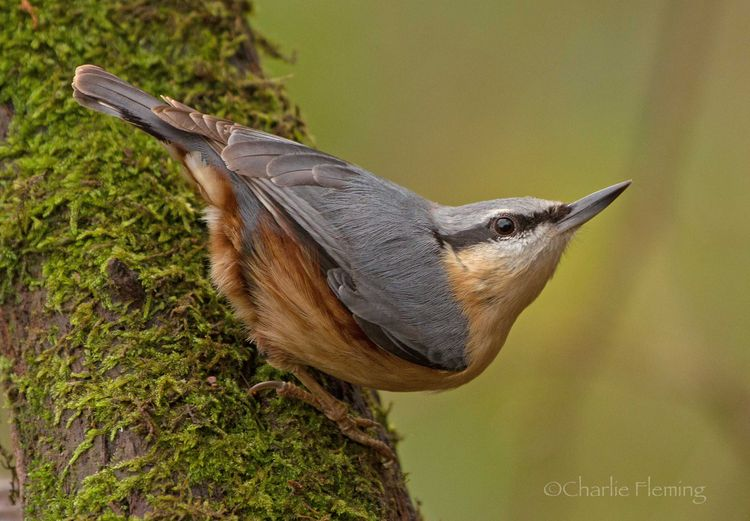 Nuthatch_edited-1