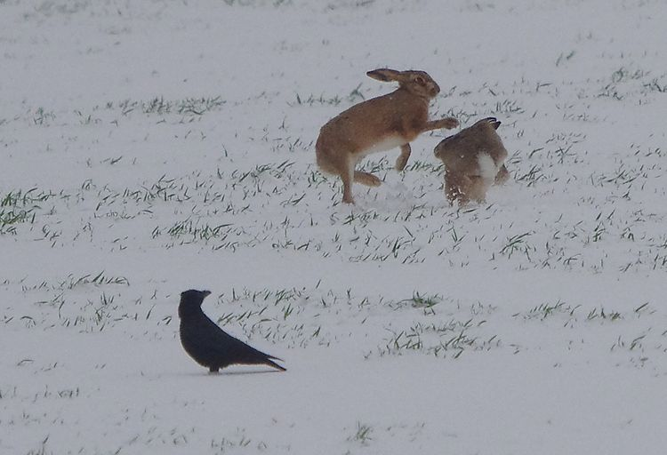 Brow Hares courting.