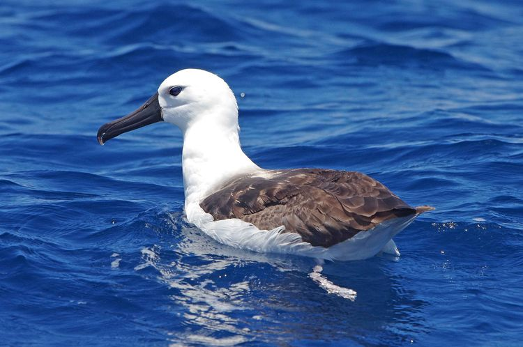 Indian Yellow-nosed Albatross.