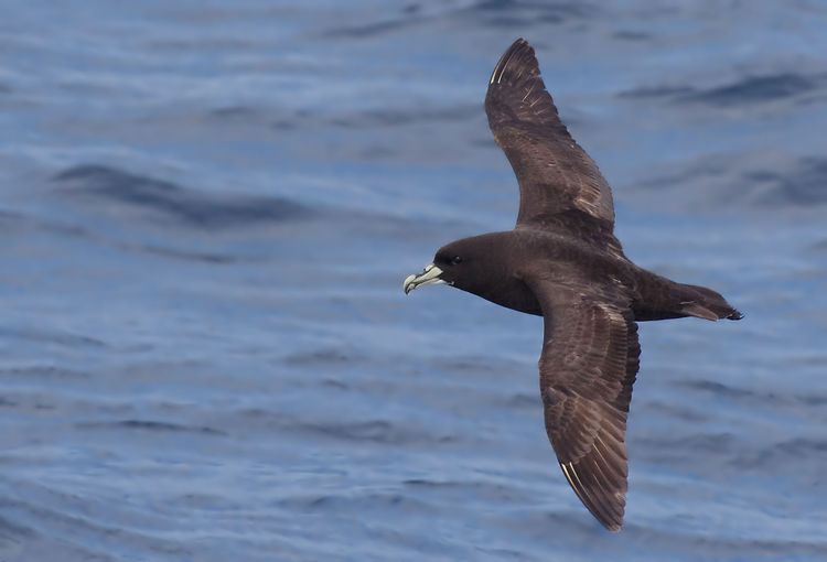 Whit-chinned Petrel