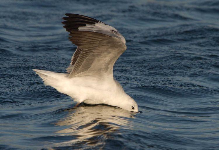 Grey-headed Gull (Chroicocephalus cirrocephalus)