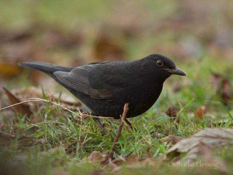 1st Winter Blackbird