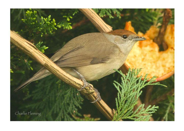 Blackcap Warbler