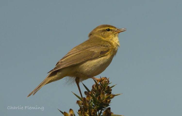 Willow Warblers.