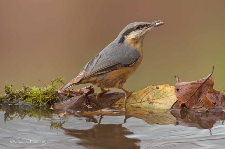 Update from the hide….. mainly Nuthatches