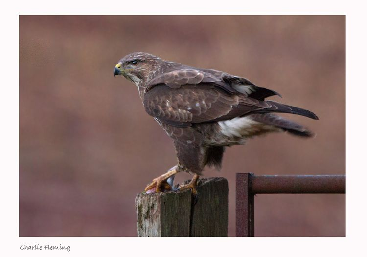 Buzzard picks up its meal.