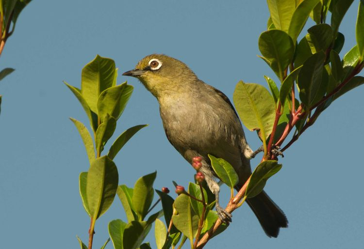 Cape White-eye.