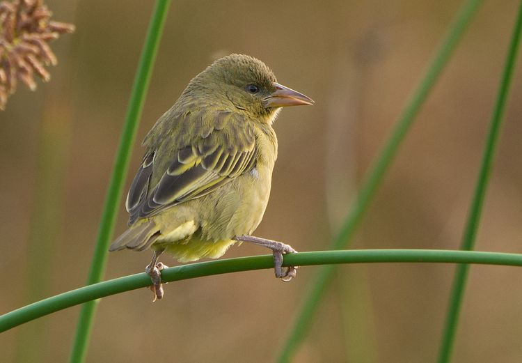 Cape Weaver (Ploceus capensis (female)