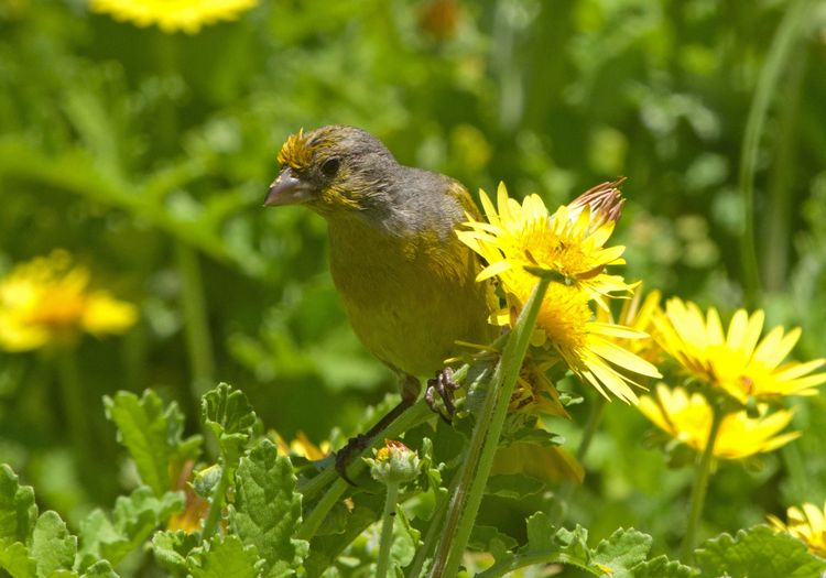 Unknown %22canary or finch%22