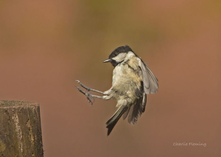 Coal Tit in flight 2