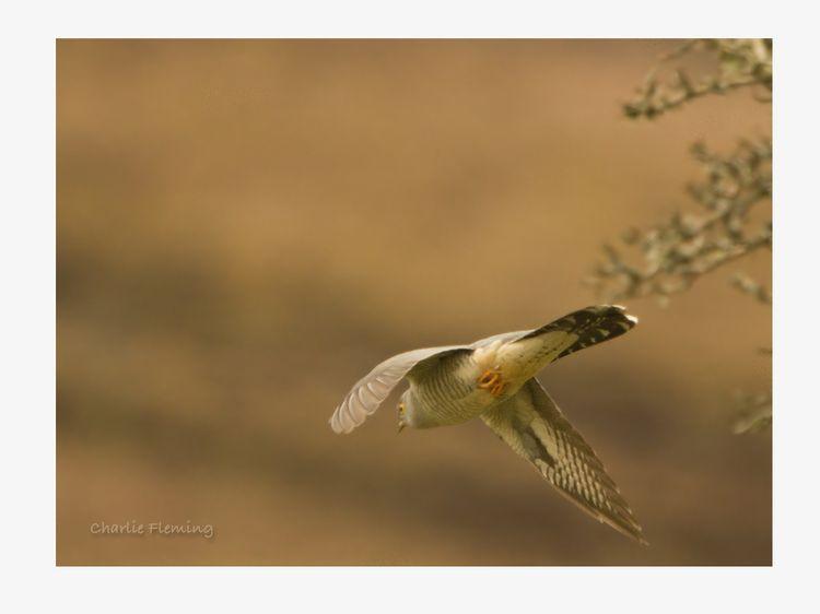 Cuckoo 2_edited-1