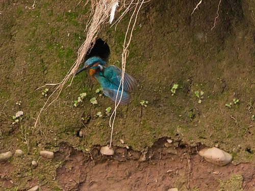 Kingfisher emerges from burrow.