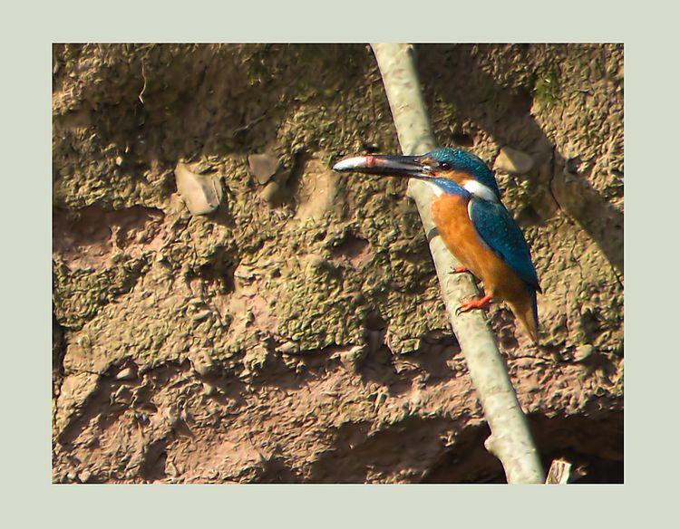 Kingfisher with minnow.