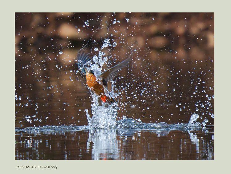 Kingfisher bathing