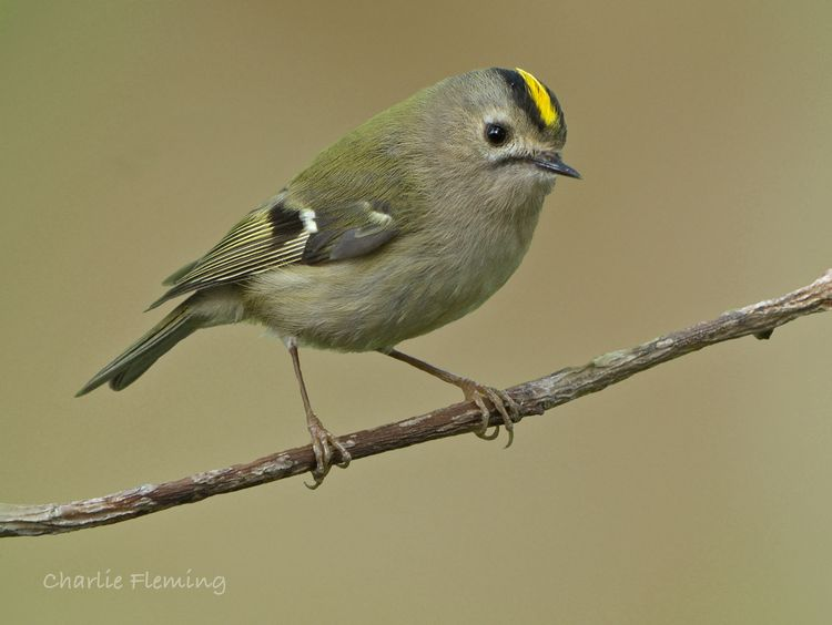 Goldcrest_edited-1