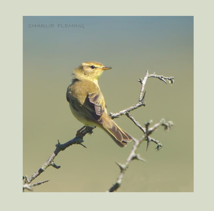 Willow Warbler in the sun