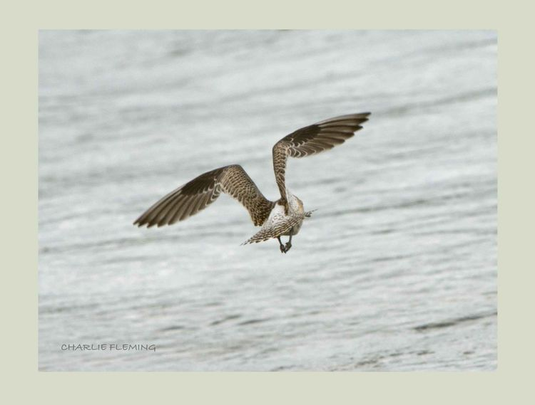 Bat tailed Godwit in flight.