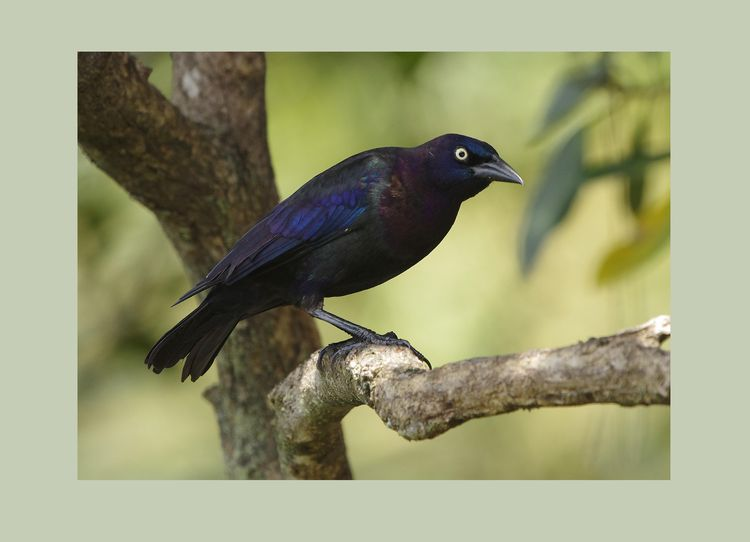 Grackle again