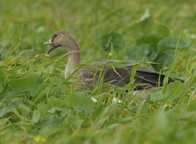 Whit fronted Goose