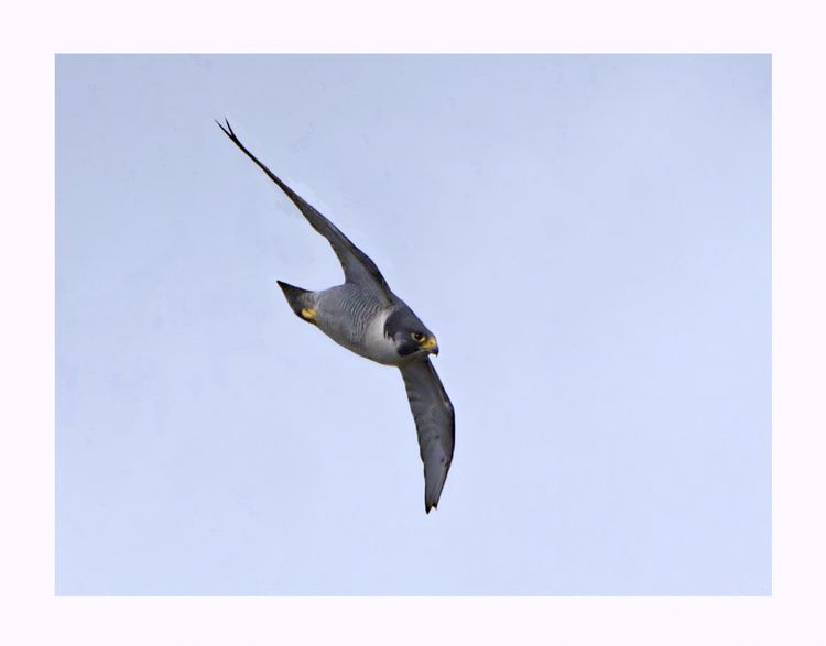 Peregrine in flight_edited-1