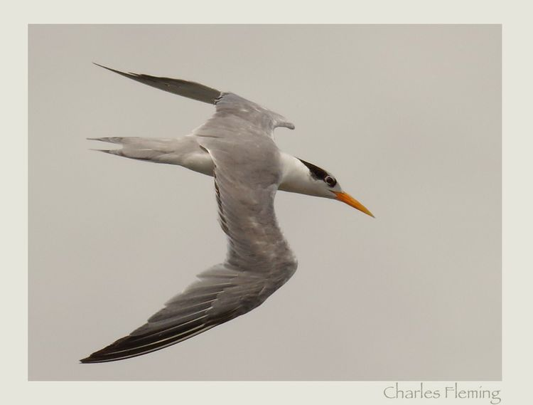 Great-crested Tern