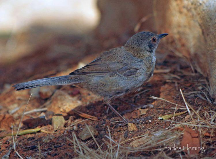 Sardinian Warbler (juvenile)_edited-1