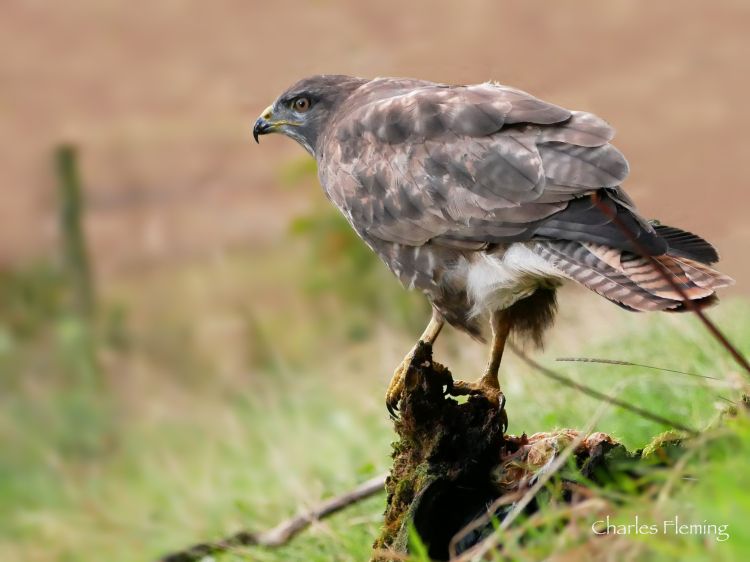 The adult Buzzard