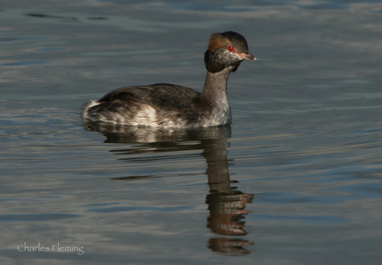 The Slavonian Grebe