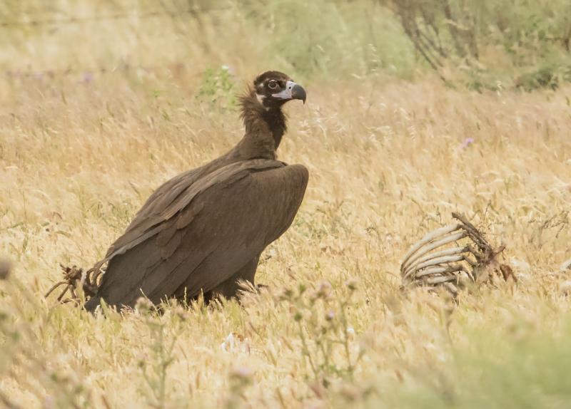 Black Vulture denoised