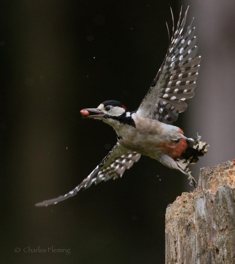 Male woodpecker in flight